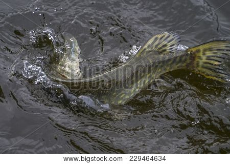 Caught Pike Fish Trophy In Water With Splashing. Fishing Background
