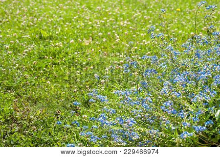 Blooming Spring Meadow With Blue Forget-me-not Flowers. Flowering Forget Me Not Wild Flowers