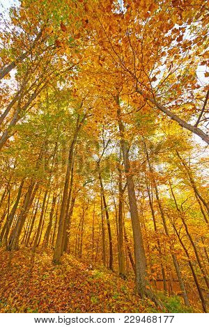Explosion Of Fall In The Midwest Forest In Palisades- Kepler State Park In Iowa