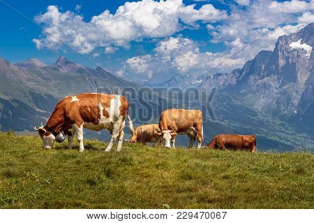 Brown Mountain Cows Grazing On An Alpine Pasture In The Bernese Alps In Summer. Grindelwald, Jungfra