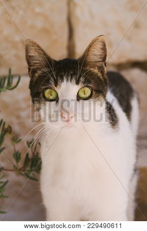 Pet Cat With Large Eyes Looking Straight