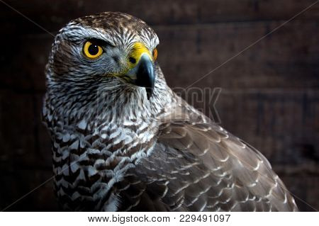 Hawk Close Up. Bird Of Prey Portrait. Wild Animal.