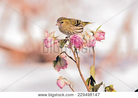 Small Eurasian Siskin (spinus Spinus) Sits On A Rose Flower Branch With Buds (as An Illustration Of