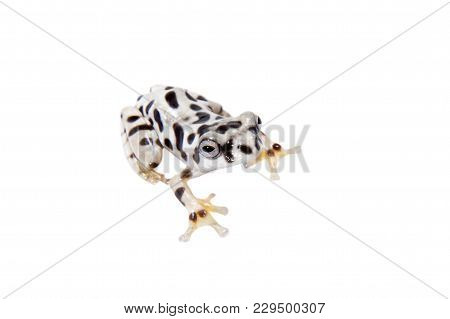 Annam Flying Frog, Rhacophorus Annamensis, Isolated On White Background