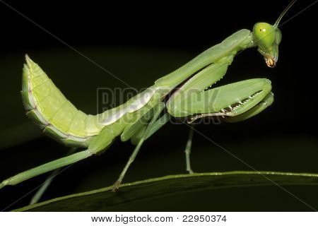Side profile of Praying Mantis