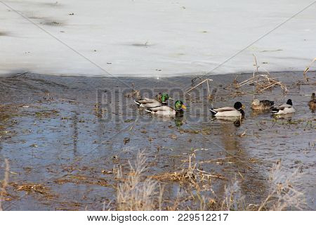 Mallards ( Drakes & Hens)  Swimming In A Partially Thawed  Marsh On A Warm Pre-spring Day.