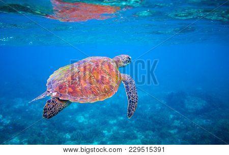 Cute Sea Turtle Swims In Sea Water. Green Sea Turtle Closeup. Wildlife Of Tropical Coral Reef. Torto
