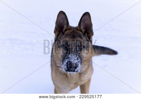 Dog Eastern European Shepherd With Snow-covered Nose Looking Into The Camera Closeup On A Snow Backg