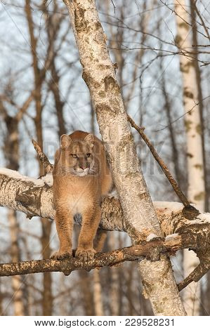 Adult Female Cougar (puma Concolor) Stands On Tree Branches - Captive Animal