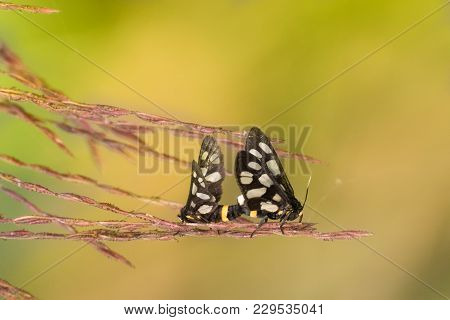 Indian Skipper Butterflies (spialia Galba), Mating In Spring - Bright Yellow Nature Background With