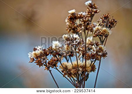 Closeup Of Brown And White Thistles In The Autumn Golden Hour In A Marshland In Minnesota