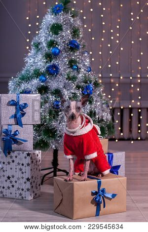 Cute American Hairless Terrier Is Sitting In A New Year's Eve Dress Near The Christmas Tree. Pet Ani