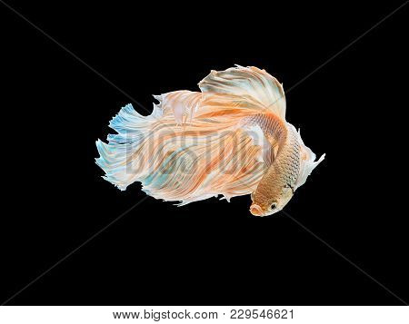 Beautiful White Thai Fighting Fish Swimming With Long Fins And Long Tail Gene. Fighting Fish Isolate