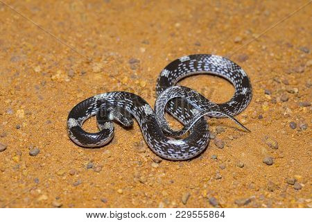 Barred wolf snake, Lycodon striatus, Non venomous. Colubridae. Pondicherry, Tamil Nadu, India poster