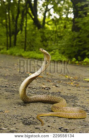 Spectacled Cobra, Naja Naja. Elapidae. Aarey Colony, Mumbai, Maharashtra, India.