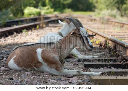 Goats On The Railway
