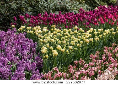 Colorful Hyacinths And Tulips Blooming In A Garden