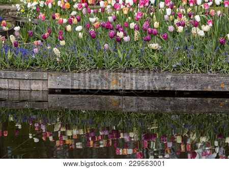 Colorful Tulips Blooming In The Garden And Their Mirror Image In The Water