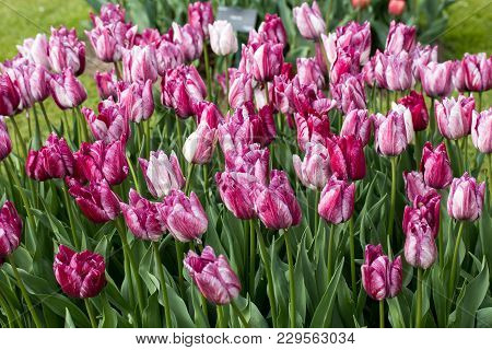 Purple Tulips Flowers Blooming In A Garden
