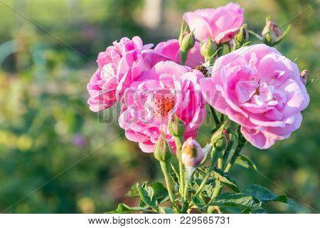 Beautiful Roses Flower In Garden. Roses Flower Background. Roses Flower Texture. Roses In Tropical G