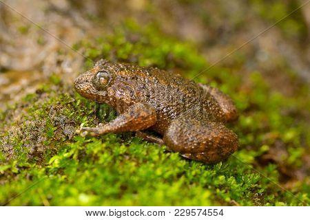 Malabar Night Frog, Large Wrinkled Frog , Nyctibatrachus Major, Mulshi, Maharashtra, India