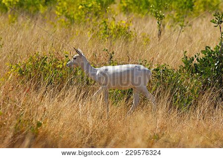 Albino Black Buck, Antilope Cervicapra, Velavadar National Park, Gujarat, India