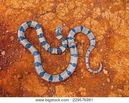 Banded Kukri Snake, Oligodon Arnensis Satara, Maharashtra, India