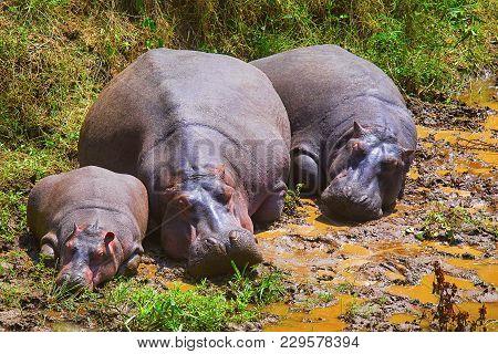 Hippopotamus, Kenya, Africa. Alarge, Mostly Herbivorous, Semiaquatic Mammal Native To Sub-saharan Af