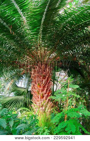 Dense Green Crown Palm, View From Below. Radially Divergent Branches From Rough Rough Bright Red-bro