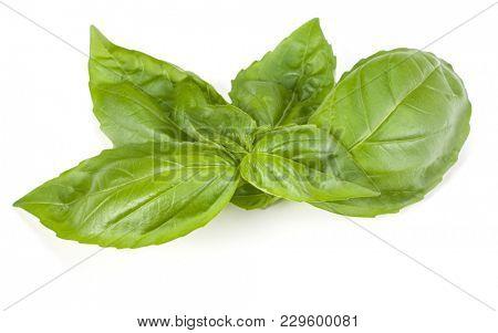 sweet basil herb leaves isolated on white background. Genovese basil leaf.