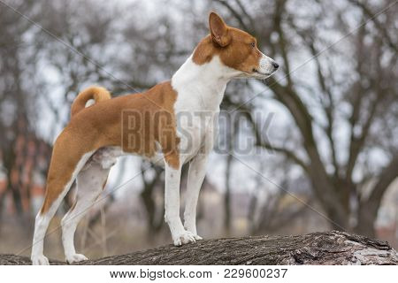 Basenji Dog Standing On A Tree Branch And Watching Around