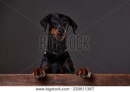 Doberman On A Dark Background In The Studio