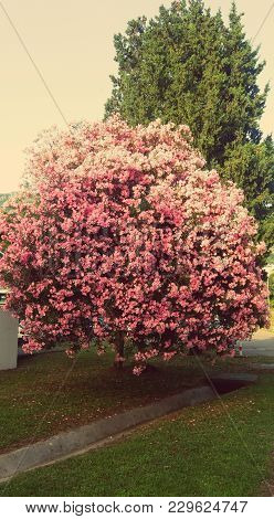 Amazing Pink Tree And Flowers, Perfect Colorful Nature, Amazing Yard. Time To Enjoy, Spring