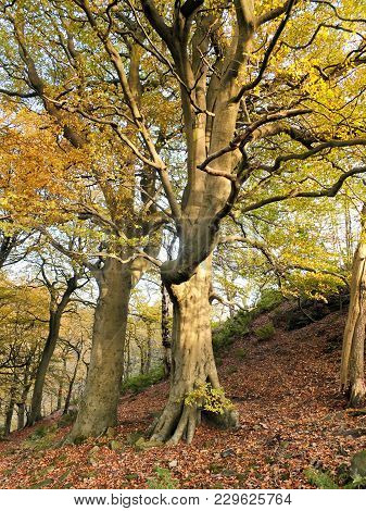 Beautiful Tall Stately Autumn Beech Trees Growing On A Steep Hillside With Leaves Beginning To Turn