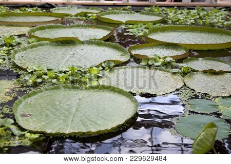 The Victoria Amazonica Regia Giant Water Lily Floating Float Leaves Pad Pads
