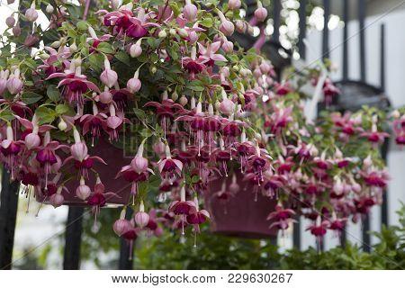Fuchsia Lancashire Lad As A Decoration Of Garden