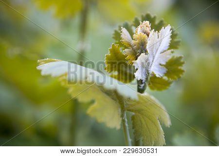 The Emerging Flower Macleaya Cordata Plume Poppy