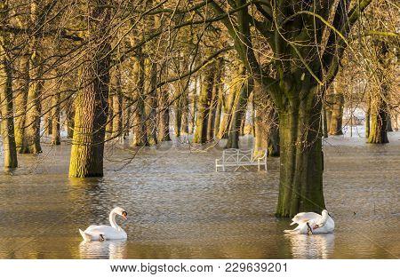 Flood In Deventer At The River Ijssel In Gelderland With The Flooded Park Worp With Swans.