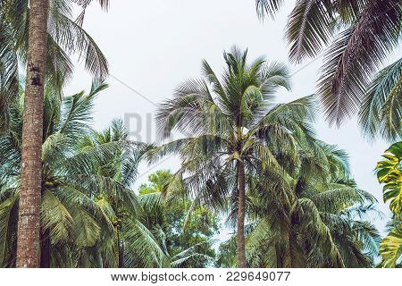 Palm Tree Crowns With Green Leaves On Sunny Sky Background. Coco Palm Tree Tops - View From The Grou
