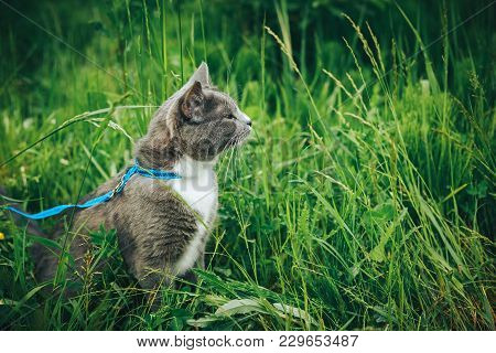 Gray Pet Cat With Leash Wandering In Backyard. Young Cute Male Cat Wearing A Harness Go On Lawn Havi