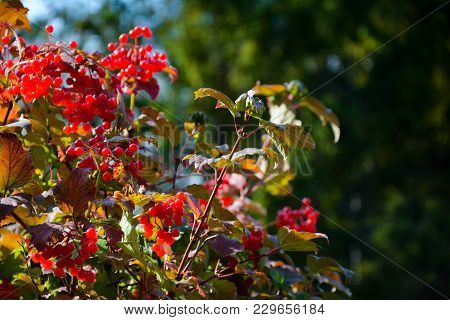 Close-up Of Guelder Rose With Red Bright Berries And Blur On Background