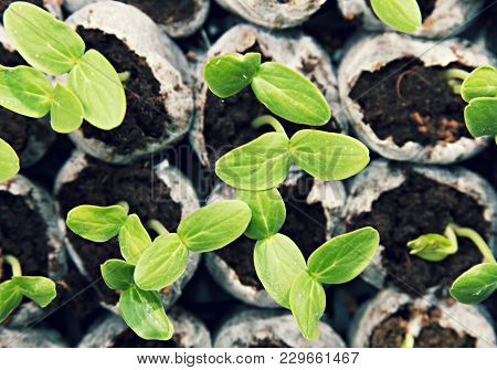 Plant Seedling Vegetable Cucumbers Growing From Soil.