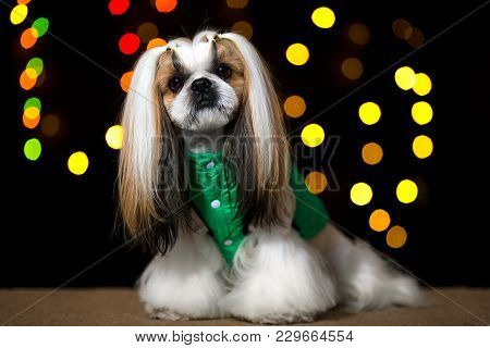 Beautiful Shih-tzu Dog In The Green Jacket And Bokeh. Best Fashion Style Of The Professional Groomer