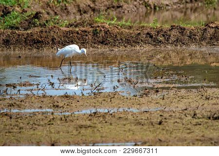 View Of Great Egret Or Ardea Alba Walking On Rice Field