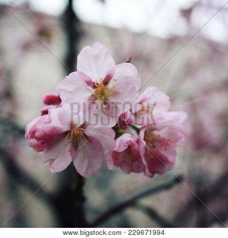 Pink Sakura Bloom. Spring Season. Toned Photo. Flowers Bloom In Spring Season. Sakura Blossom Time.