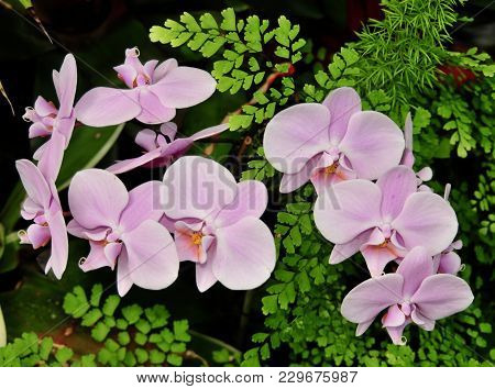 Beautiful Pink Dendrobium Orchid Flowers Surrounded By Green Maidenhair Ferns