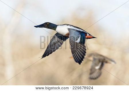 Northern Shovelers In Flight - American Waterfowl