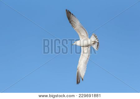 Ring-billed Gull With Wings Spread Wide In Flight