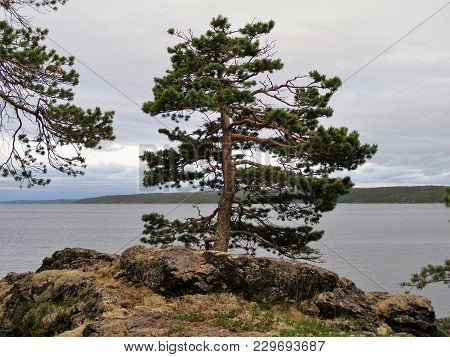 Low Pine With A Wide Trunk Grows On The Rocky Shore Of A Very Wide River