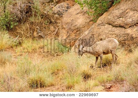 female Rocky Mountain Sheep feeding in Cedar breaks park poster